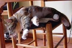 Gracie 27 May 2009 011b 4x6 (edgarandron - Busy!) Tags: cats cute cat chair gracie feline tabby kitty tortoiseshell kitties tortie torbie