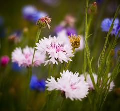 Late Spring 02 (- Ral) Tags: flowers macro home oregon garden spring nikon springfield 2009 d80 platinumphoto platinumheartaward