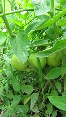 tomatoes (A & M Accessories) Tags: green cat garden beans herbs tomatoes squash watermellon cantelope zucchinni marciamenendez