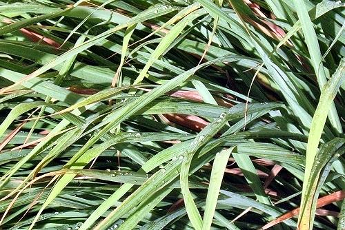 Cymbopogon citratus (rq) - 01