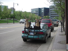 Deer on a Car?