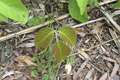 poison ivy plant images. poison ivy plant.