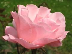 I'm happy (mennomenno.) Tags: roos roze