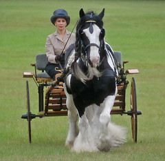 D'Jango Jazz, The Pelton Vanners (The Pelton Vanners Gypsy Vanner Horses) Tags: horses horse driving carriage cob gypsy gypsies vanner gypsyvanner gypsycob