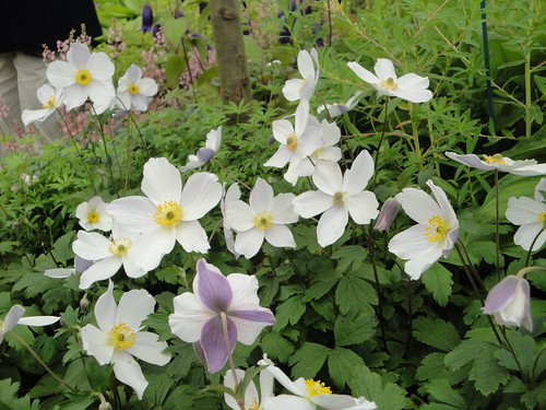 Anemone 'Wild Swan' with reverse