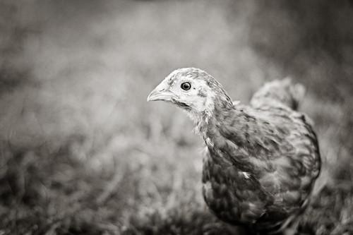 Chickens 013