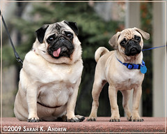 Portrait of Pugs in the Park: Otto and Clancy (Rock and Racehorses) Tags: two portrait dog puppy newjersey big jerseycity photographer little pair nj pug explore pugs tiltedhead cockedhead sarahkandrew ska6195