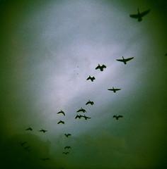Egress (liquidnight) Tags: sky colour 120 birds clouds mediumformat freedom flying geese holga wings xpro flock birding flight free slidefilm goose crossprocessing agfa departure birdwatching canadagoose companions expiredfilm holga120cfn canadensis branta agfachrome 120cfn justclouds rsx50 egree