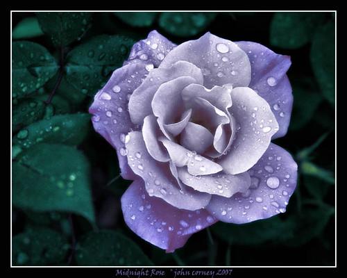 你拍攝的 Midnight Rose in the Rain。