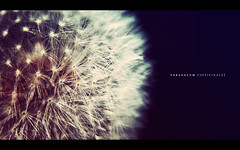 Taraxacum Officinale (isayx3) Tags: macro nikon dof tube dandelion if 28105mmf3545d extension af nikkor d3 28105 taraxacum officinale 28105mm f3545d