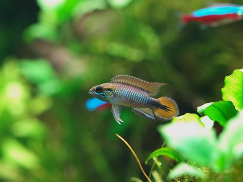 P3025473 藍體紅尾阿卡西