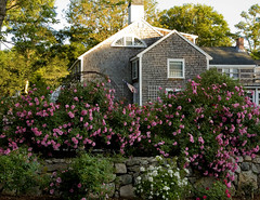 barnstable roses (betty wiley) Tags: life flowers cape cod barnstable