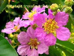 ดอกอินทนินบก Inthanin or Sakura in ThaiLand