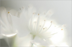 EXPLORED! White flower/ nature / Soft Macro / Close up / white / - IMGP5773 (Bahman Farzad) Tags: white flower macro up closeup spring soft close blossom blossoms upclose whiteonwhite whiteblossom