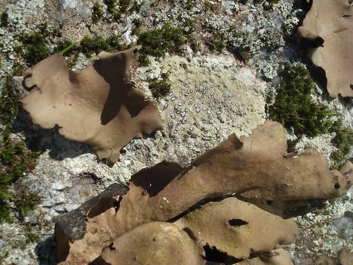 rock tripe, Umbilicaria mammulata