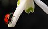 (Peertje.) Tags: red white black flower macro green nature fauna bug insect spring flora nikon searchthebest spots ladybird ladybug tor tamron snowdrop wmp kever lieveheersbeestje naturesfinest blueribbonwinner otw abigfave platinumphoto anawesomeshot mycameraneverlies macromarvels excapturemacro mwqio