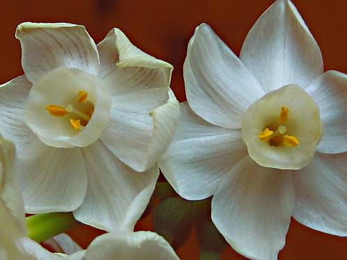 Dúo de flor