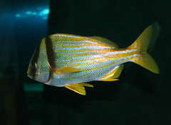 ocean sea fish yellow swim aquarium marine tank stripes striped fins saltwater