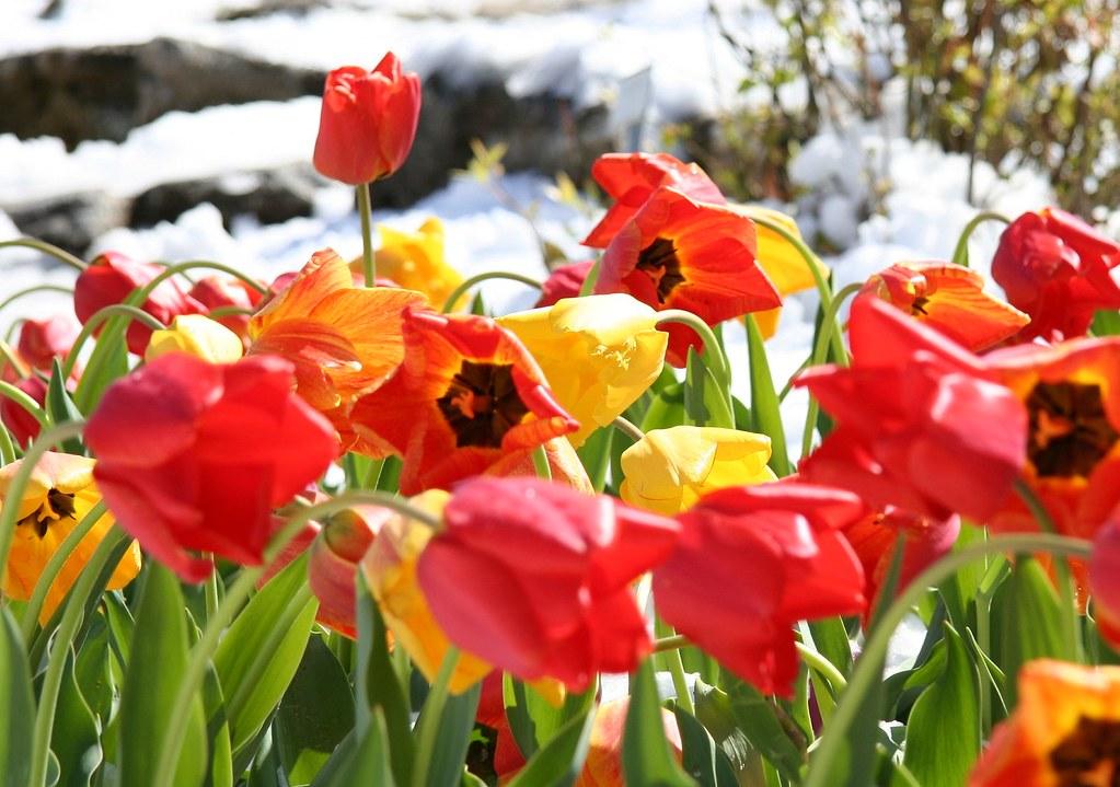 Poppy Tulips