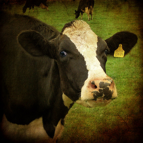 """Hey girls! Come and have a look at the mad cow with the camera."""