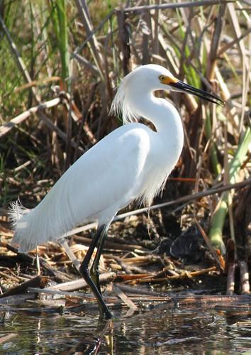 Snowy Egret - 3/16/2009