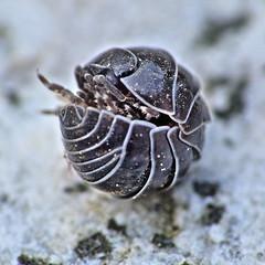 Un acorazado en miniatura (Vctor Bao) Tags: naturesfinest crustaceos excapturemacro vctorbao isopodos cochinilladehumedad
