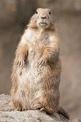 2009-04-06-16h20m35.IMG_8524l (A.J. Haverkamp) Tags: zoo rotterdam blijdorp prairiedog cynomysludovicianus dierentuin prairiehond diergaardeblijdorp httpwwwdiergaardeblijdorpnl canonef300mmf4lisusmlens