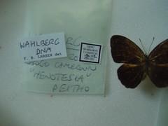 Heteropsis peitho