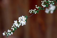 Spirea (roseyhadlow) Tags: spirea bridalwreath abigfave goldstaraward cherryontopphotography