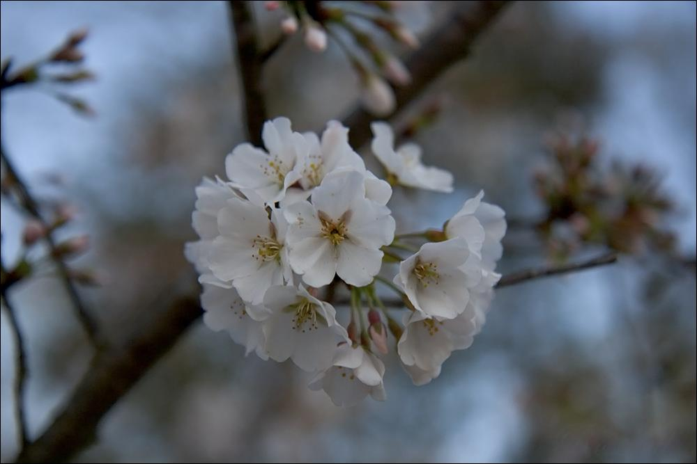 dawn|cherry blossoms ©2009 RosebudPenfold
