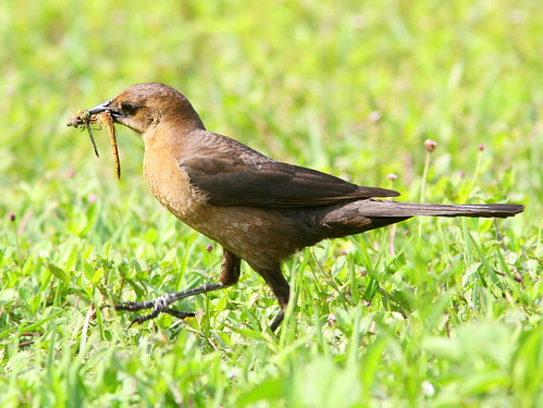 Female Boat-tailed Grackle lWith Dragonfly 20090410
