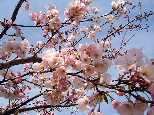 Early sakura Japan cherry tree flower