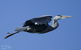 Grey Heron (Ardea cinerea) in flight