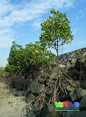Mangroves on the seawall on Pulau Hantu
