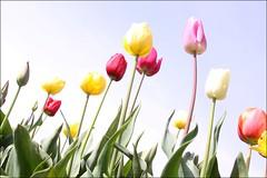 (Wind Home) Tags: flowers nature oregon pretty tulips woodburn blueribbonwinner abigfave platinumphoto platinumheartaward theperfectphotographer