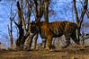 ADS_00000633 (dickysingh) Tags: wild india outdoor tiger bigcat aditya predator ranthambore singh ranthambhore dicky adityasingh ranthamborebagh theranthambhorebagh vosplusbellesphotos wwwranthambhorecom