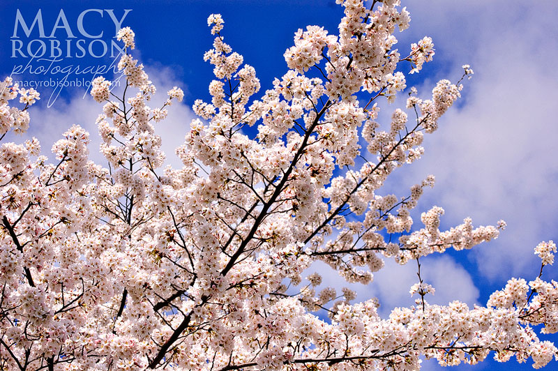 Cherry Blossom Festival - 5