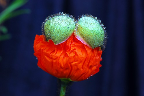 A spring poppy unfolding to bloom