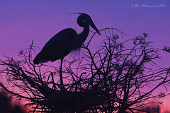 Great Blue Heron in Silhouette (Blair Photography) Tags: sunset nature silhouette dusk wildlife blueheron wako soe wakodahatchee blueribbonwinner mybestphotos supershot flickrsbest impressedbeauty colourartaward platinumheartaward fbdg theperfectphotographer rubyphotographer vosplusbellesphotos dragondaggerphoto dragondaggeraward blairphotography