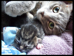 Boomer and babycopy (OpticalGlee) Tags: new baby cute cat kitten feline birth adorable