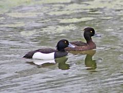 Pair of Tufted Ducks (Prank F) Tags: lake male bird water female duck pair tufted wicksteedpark ketteringnorthantsuk