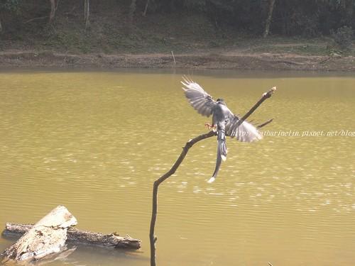 你拍攝的 17台灣藍鵲。