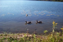 pretty (brenda898) Tags: canada birds ducks sudbury ontaio minnowlake