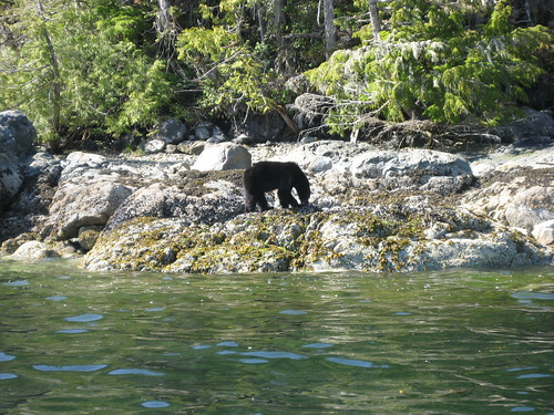 We saw a black bear on the way back from the park.  Apparently those black bear shows up at the beach looking for shells and crabs to eat during low tide.