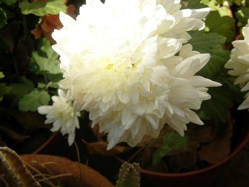 crisantemo blanco 1