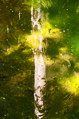 riflessi onirici (bormanus_sv) Tags: verde foglie sole terra riflessi bianco palude sogni alghe fonti betulla ninfe fondali giaalo flickraward