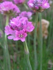 IMG_5871 (jennifer_g_horn) Tags: plants may 2009 armeria lizchristy
