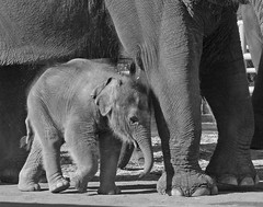 Little Elephant (D Cunningham) Tags: california baby grey peace potofgold perris motherslove elelphants dcunningham