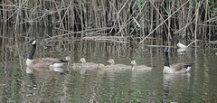 Line 'em Up! (csnowchick) Tags: brantacanadensis canadageese tinicum heinznationalwildliferefuge