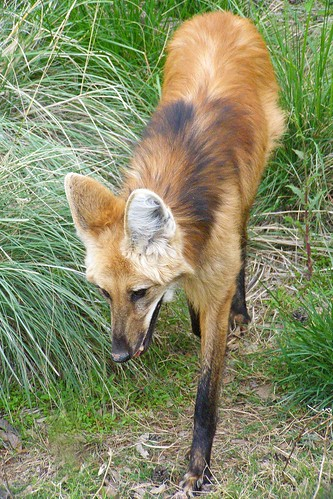 Maned Wolf at Phx Zoo